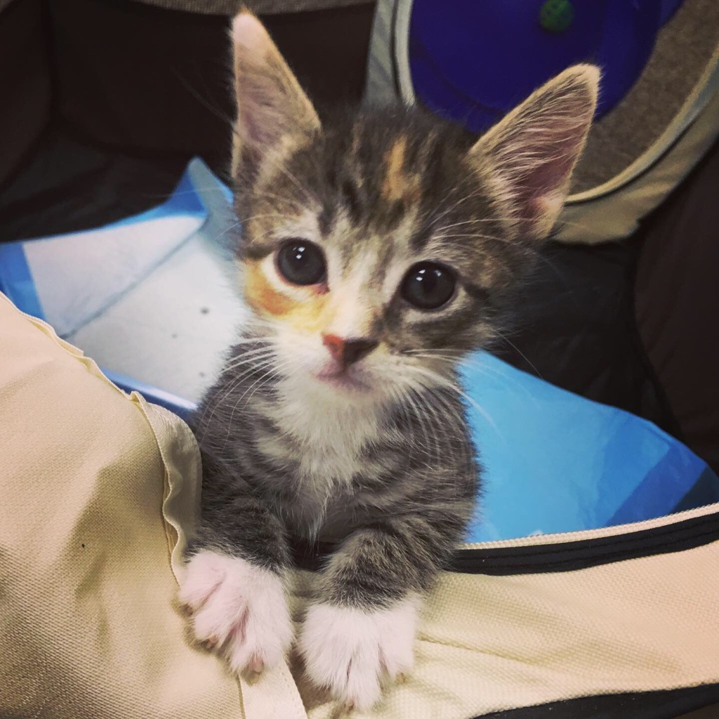 An adorable torbie kitten with huge ears and big eyes stands with her white paws propped on a canvas surface, looking very serious and pleading.